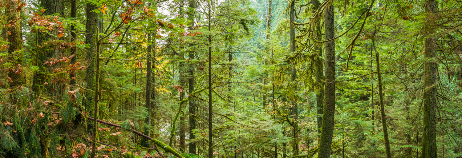 Forever Green in Lynn Canyon Park