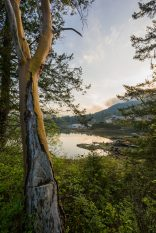 Arbutus Tree in Pender Harbour