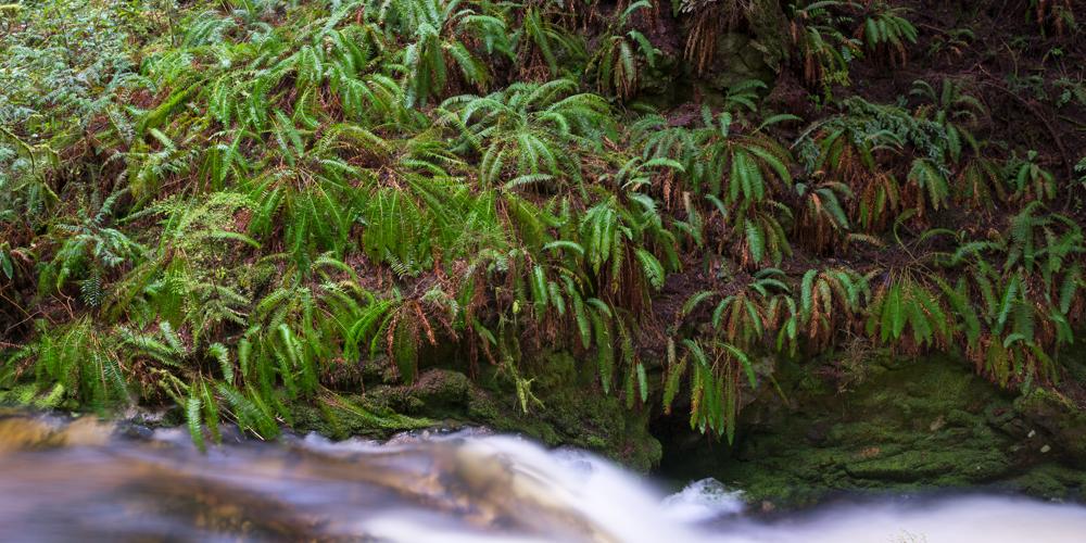 Ferns in Cliff Gilker Park